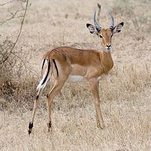 220px-Serengeti_Impala3