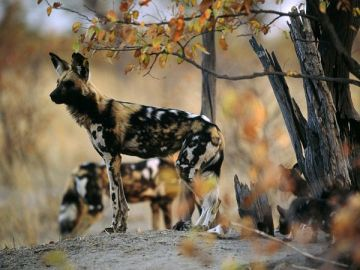 african-wild-dogs_441_600x450