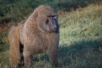 Baboon-Wildlife
