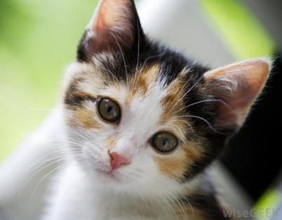 young-calico-cat