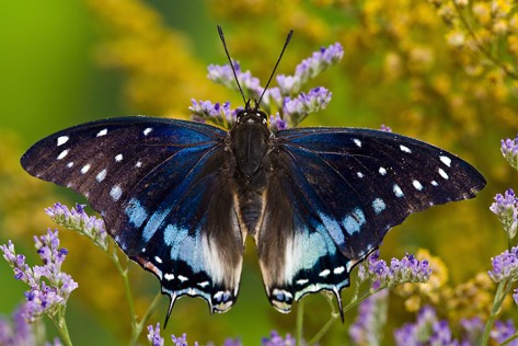 Blue-Spotted-Charaxes-But-013