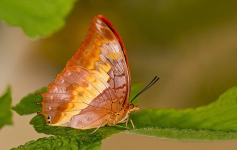 Flame-Bordered-Charaxes-C-002