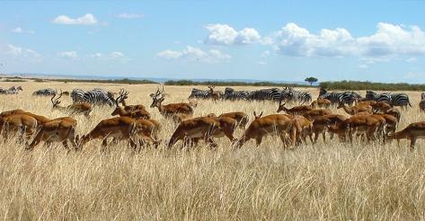 Herds_Maasai_Mara