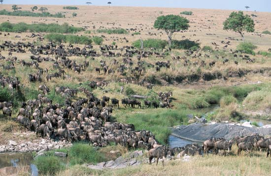 wildebeest migration in masai mara, kenya2011