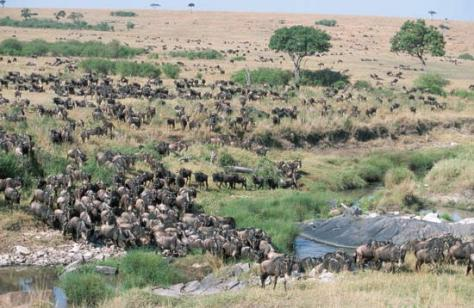 wildebeest migration in masai mara, kenya2011