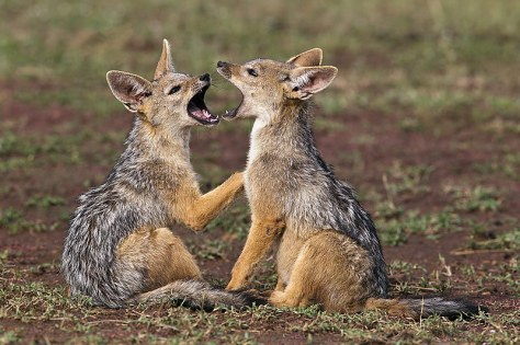 35.-Black-Backed-Jackal-pups-play-flighting-Masai-Mara-Kenya
