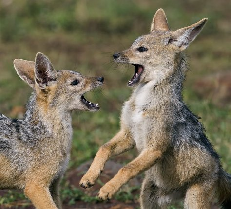 36.-Jackal-pups-playing-Masai-Mara-Kenya