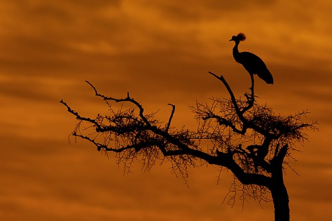 37.-Crowned-Crane-in-Acacia-tree-silhouetted-at-sunset-Masai-Mara-Kenya