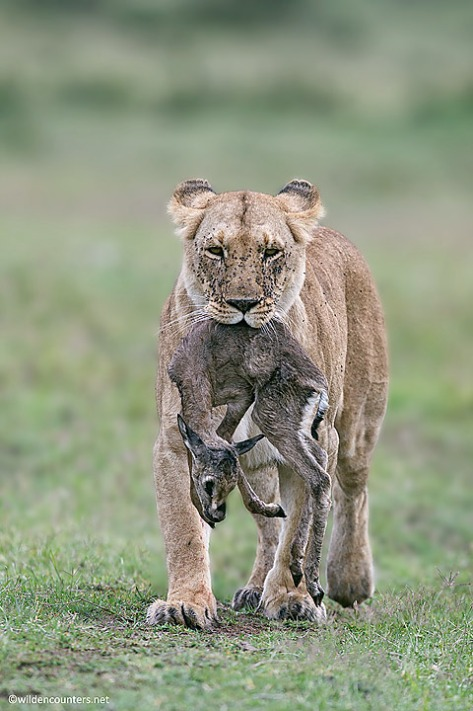 38.-Lioness-carrying-Thomsons-Gazelle-fawn-kill-Masai-Mara-Kenya