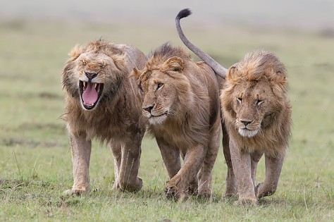 39.-Three-male-Lions-walking-closely-together-Masai-Mara-Kenya
