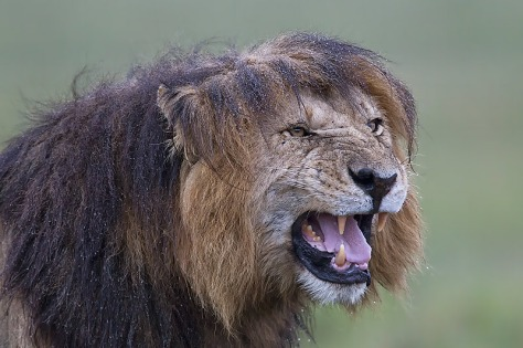 42.-Male-Lion-with-wet-mane-snarling-Masai-Mara-Kenya