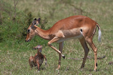 49.-Adult-female-Impala-with-newly-born-fawn-attempting-its-first-steps-Masai-Mara-Kenya-copy1
