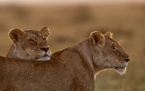 50.-Lioness-with-chin-resting-on-the-back-of-another-Lioness-Masai-Mara-Kenya
