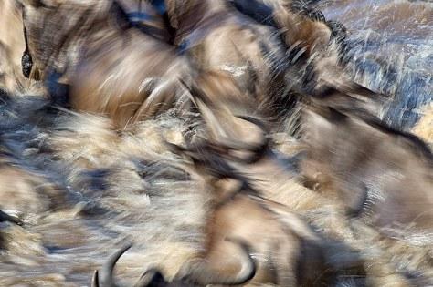 57.-Widebeest-river-crossing-chaos-Mara-River-Masai-Mara-Kenya1