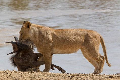 58.-Lioness-carrying-Wildebeest-calf-kill-on-the-bank-of-the-Mara-River-Masai-Mara-Kenya