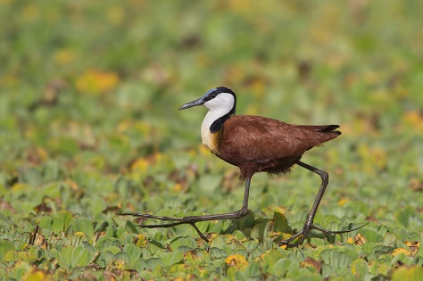 61.-Adult-African-Jacana-showing-long-toes-and-claws-walking-on-floating-vegetation-2-Masai-Mara-Kenya