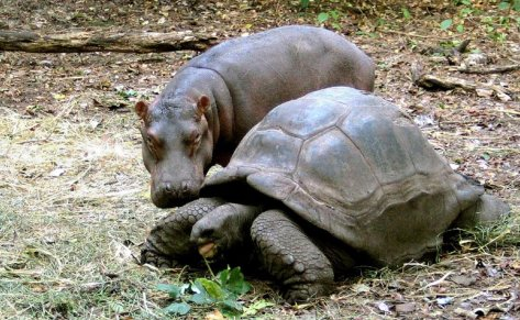 a-baby-hippopotamus-cozies-up-to-his-adopted-mother--a-120-year-old-giant-tortoise-living-in-a-kenyan-sanctuary