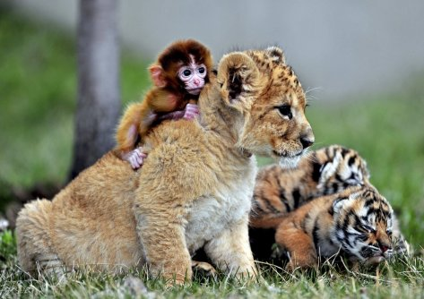 a-baby-monkey-a-lion-cub-and-tiger-cubs-play-at-a-tiger-park-in-china