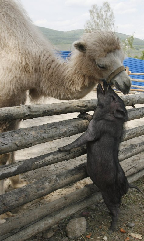 a-camel-bends-over-a-fence-to-nuzzle-a-miniature-pig-at-a-zoo-in-russia