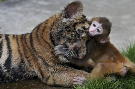 a-tiger-cub-and-a-baby-monkey-pal-around-at-a-zoo-in-china