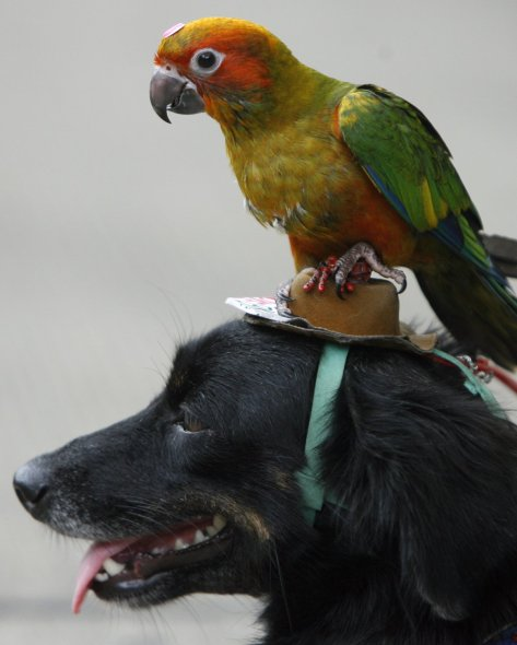 a-young-parrot-perches-itself-on-a-dog-dressed-in-a-hat