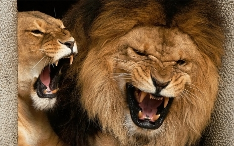 african-lions-of-artis-growling-by-stephen-oachs