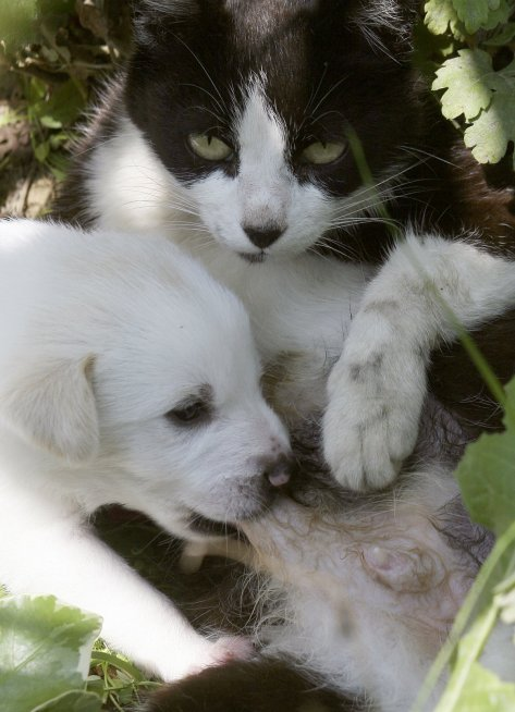 after-its-own-kitten-died-this-cat-started-taking-care-of-these-puppies-whose-mother-had-been-hit-by-a-car