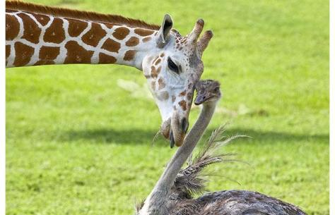 giraffe-ostrich_1465317i