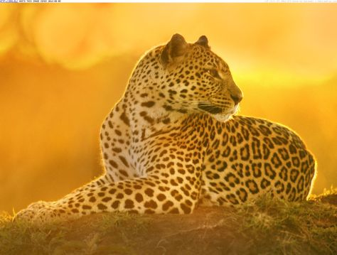 leopardess-at-sunset-maasai-mara-kenya