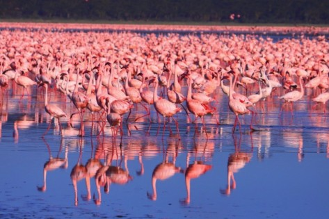 Lesser-flamingos-congregating-in-Lake-Nakuru-National-Park-Adam-Riley-950x633