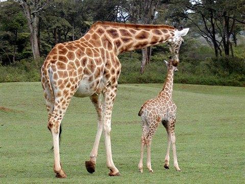 nairobi-giraffe-center3