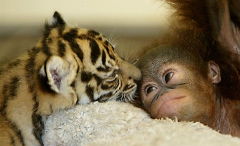 ss-111014-unlikely-friends-organutan-tiger.ss_full-600x366