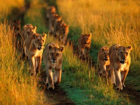 D3 Pride of Lions 狮子群
