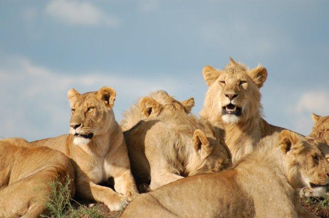 Lion%20Pride%20in%20Mara
