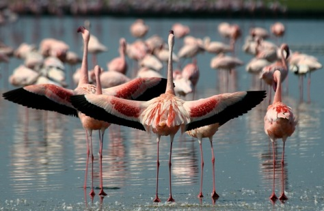 Lesser Flamingos spreading their wings at Lake Nakuru National Park