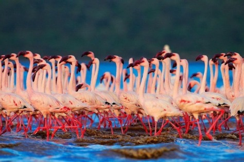 lake-nakuru-flamingos-10[2]