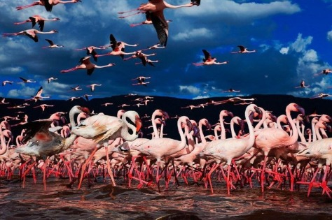 lake-nakuru-flamingos-11[2]