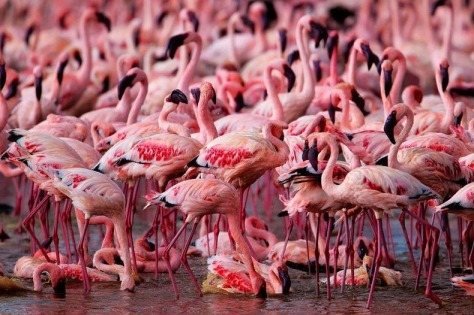lake-nakuru-flamingos-12[2]