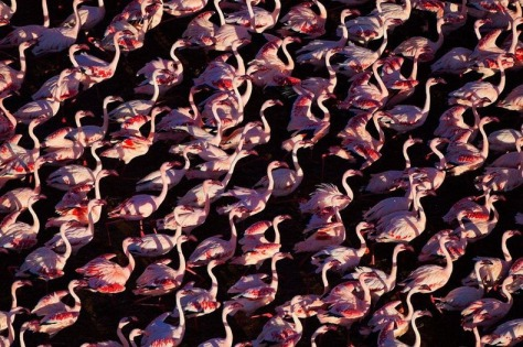 lake-nakuru-flamingos-2[6]