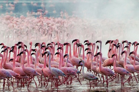 lake-nakuru-flamingos-3[6]