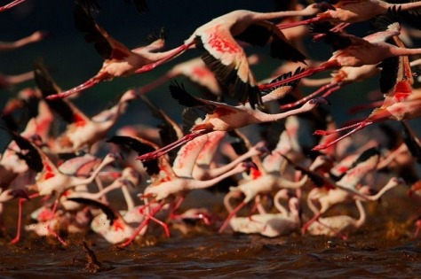 lake-nakuru-flamingos-9[2]