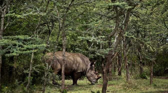 Did you Know? Northern White Rhinos in the Brink of Extinction